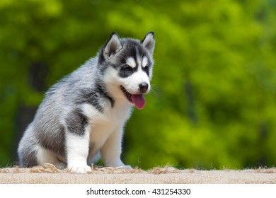 Siberian husky puppy outdoors siberian husky puppy outdoors voltagebd Image collections