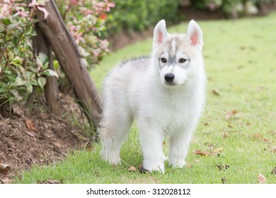 Siberian husky puppy running in playground
