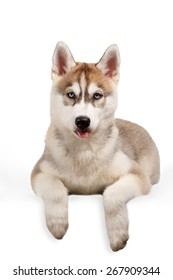 Siberian Husky puppy showing tongue on White background