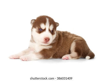 Siberian husky puppy. Side view, isolated on white.