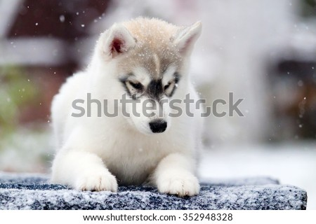 Siberian Husky Puppy Snow Stock Photo Edit Now 352948328
