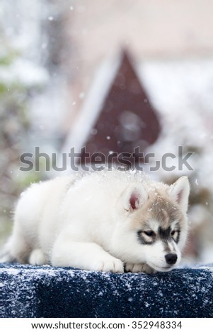 Siberian Husky Puppy Snow Stock Photo Edit Now 352948334