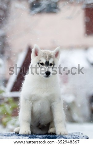 Siberian Husky Puppy Snow Stock Photo Edit Now 352948367