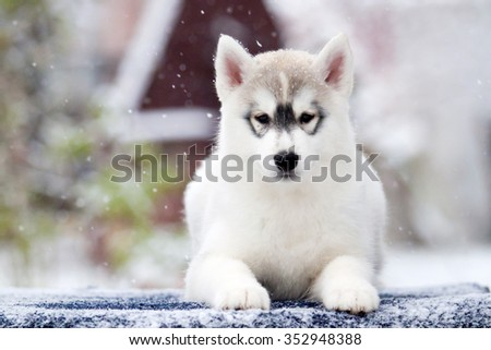 Siberian Husky Puppy Snow Stock Photo Edit Now 352948388