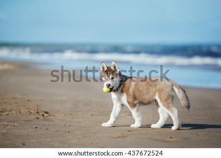 Siberian Husky Puppy Walking On Beach Stock Photo Edit Now