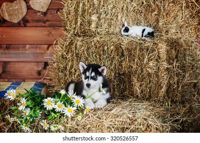 Siberian Husky and rabbit. Dog and rabbit with flowers in studio