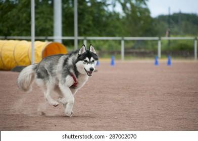 A Siberian Husky in the race