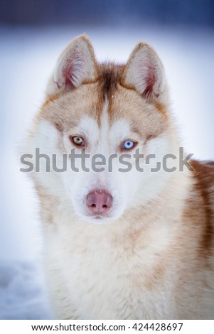 Siberian Husky Red Dog Heterochromia Blue Stock Photo Edit Now