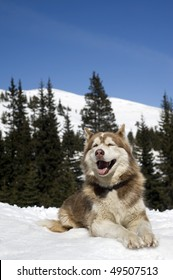 Siberian Husky resting on the snow in the forest.