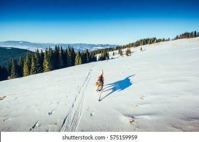 Siberian husky runs on the snow in the winter Carpathian mountains