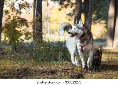 Siberian Husky saunters in autumn forest. Pine trees grow in the forest.