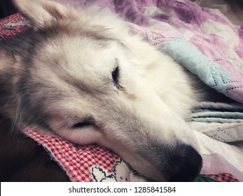 Siberian husky was sicked,lateral recumbency, coma,admit to pet hospital