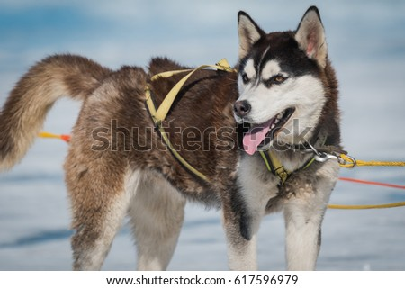 Siberian Husky Sled Dog Lake Baikal Stock Photo Edit Now 617596979