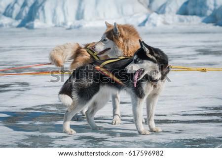 Siberian Husky Sled Dog Lake Baikal Stock Photo Edit Now 617596982