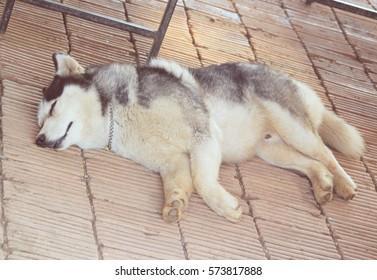 Siberian husky sleeping curled up.