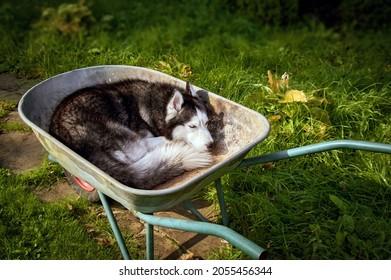 Siberian husky sleeping. Husky dog sleeps in wheelbarrow curled up. Handsome Pet