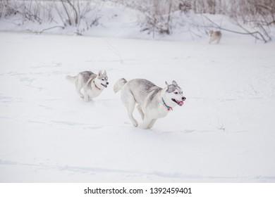 siberian husky in snow winter puppy