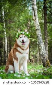 Siberian husky sommer