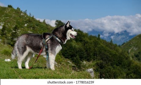 Siberian husky standing freely and looking at something far away.