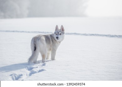 siberian husky winter playing in snow forest