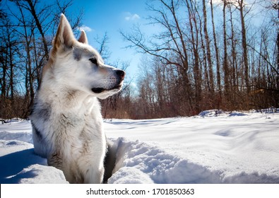 siberian husky wolf dog sitting in a snowy forest on a sunny day.