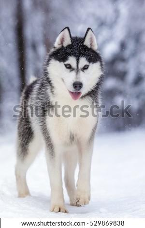 Siberian Husky Wolf Dog Winter Forest Stock Photo Edit Now