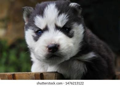 Siberian Husky.Little puppy.Newborn husky.Black.Outdour.Funny portraits of liitle dog.Closeup.