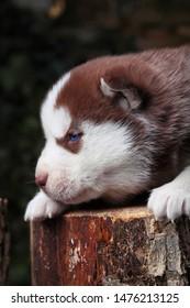 Siberian Husky.Little puppy.Newborn husky.Brown.Outdour.Funny portraits of liitle dog.