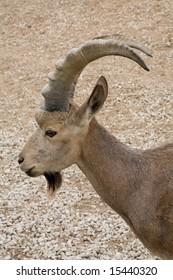 Siberian ibex