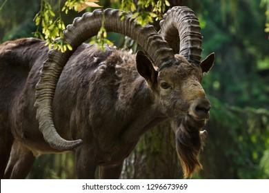 Siberian ibex (Capra sibirica). Wildlife animal.