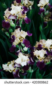 Siberian irises with purple petals grow in the spring garden