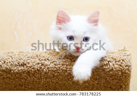 Siberian kitten at home