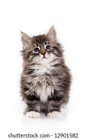 Siberian kitten on white background