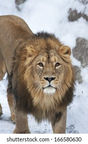 Siberian lion is looking straight into the camera. The young Asian lion on snow background. Winter cold is not bad weather for the King of beasts. Beauty of the wild nature.