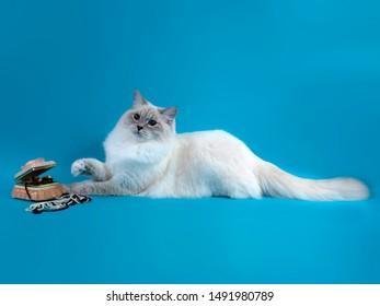 Imagenes Fotos De Stock Y Vectores Sobre Blue Point Cat