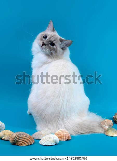 Siberian Longhair Color Point Cat Blue Stock Photo Edit Now
