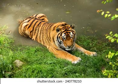 Siberian Lying Tiger in Summer
