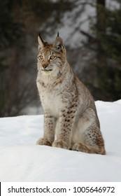 Siberian Lynx  (Lynx lynx)
