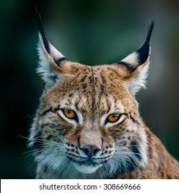 Siberian lynx  head shot
