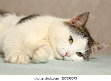 siberian male tom cat close up portrait with muzzle and claws lay on the floor ready to play