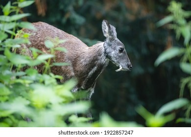 Siberian musk deer with long fangs. Close-up portrait of cute male musk deer with terrible sharp tusks among green grass in the summer forest.