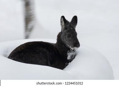 Siberian musk deer in snow