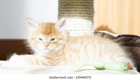 siberian puppy cat, red version at two months