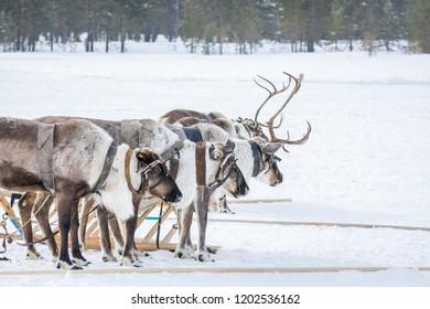 Siberian reindeer in harness next to sleds prepared flee on winter camp in Siberia