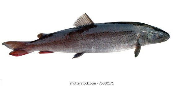 Siberian river salmon - Hucho taimen isolated on a white background