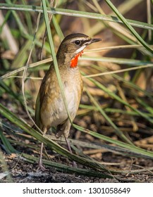 Siberian Rubythroat ( Luscinia calliope ) on the ground.