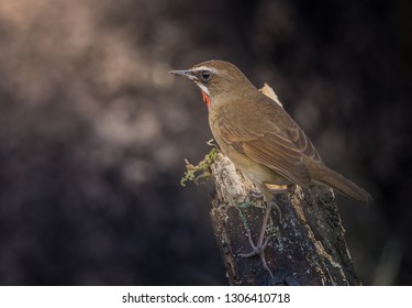 Siberian Rubythroat ( Luscinia calliope ) on dry branch.