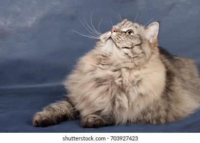 Siberian Russian cat