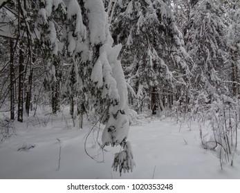 Siberian snow frozen forest. Minus 15 degrees Celsius