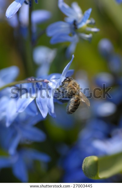 Siberian Squill and a bee  - shallow DOF